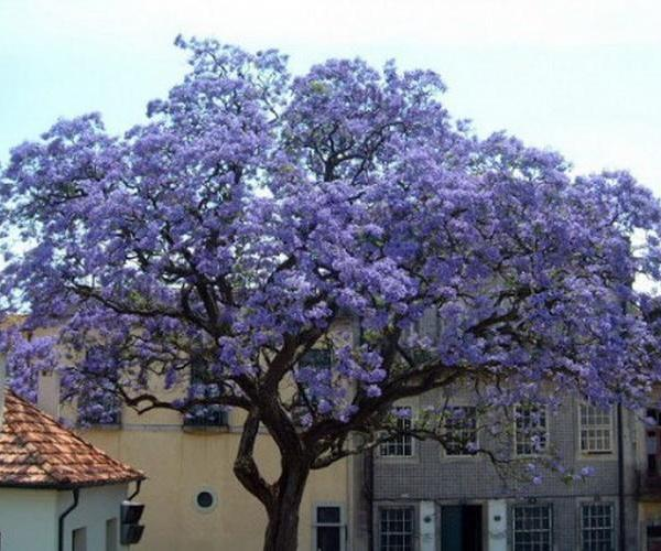 Paulonia imperial, un árbol ornamental
