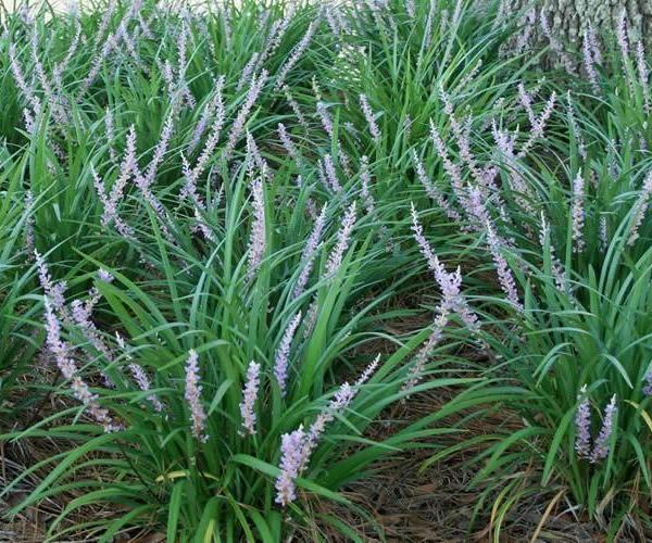 Dwarf Mondo Grass Propagation
