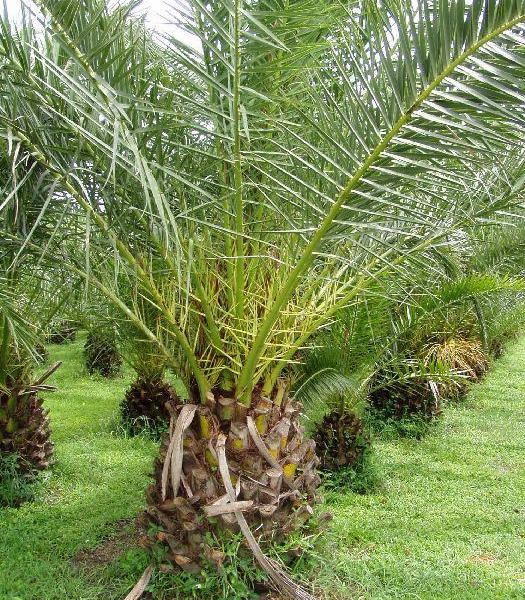 Pruning Palm Plants: Tips On Cutting Back A Palm Tree