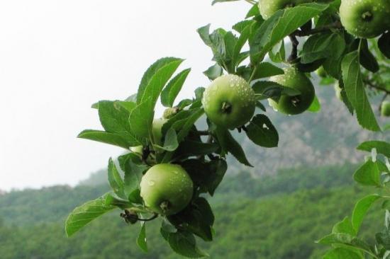 青苹果的养殖方法和注意事项