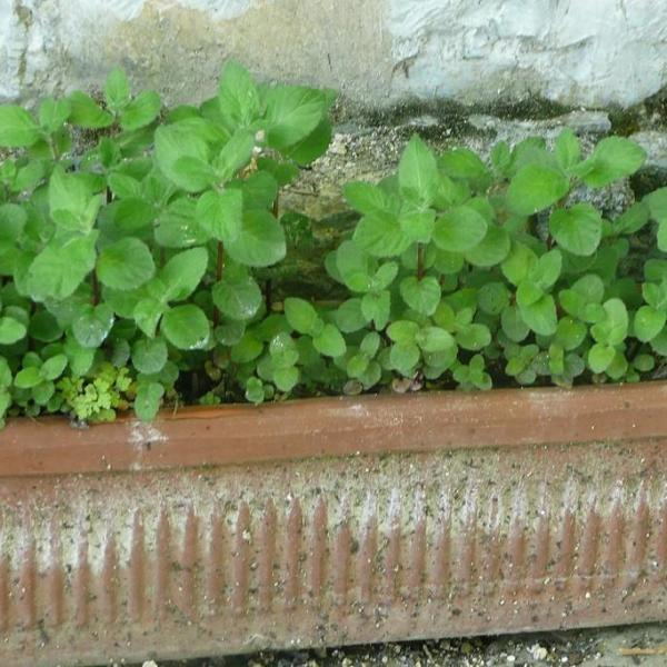 Mentha Aquatica – Information About Growing Watermint