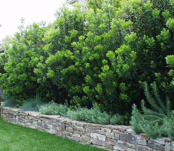 Wax Myrtle Care: How To Plant Wax Myrtle In Your Garden
