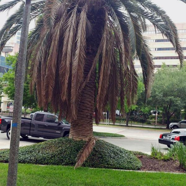 Palm Tree Dropping Fronds: Can You Save A Palm Tree Without Fronds