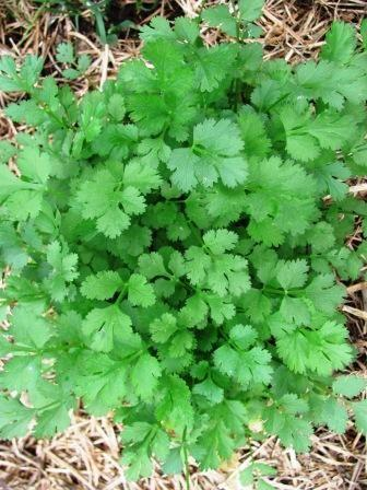Parsley Seed Growing – Learn How To Grow Parsley From Seed