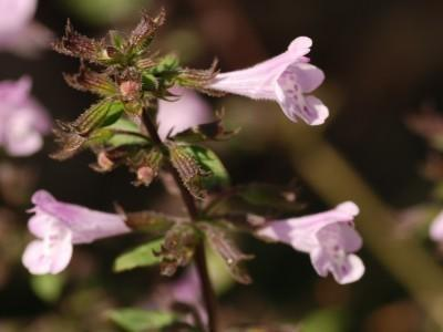 Lesser Calamint Plants: Growing Calamint Herbs In The Garden