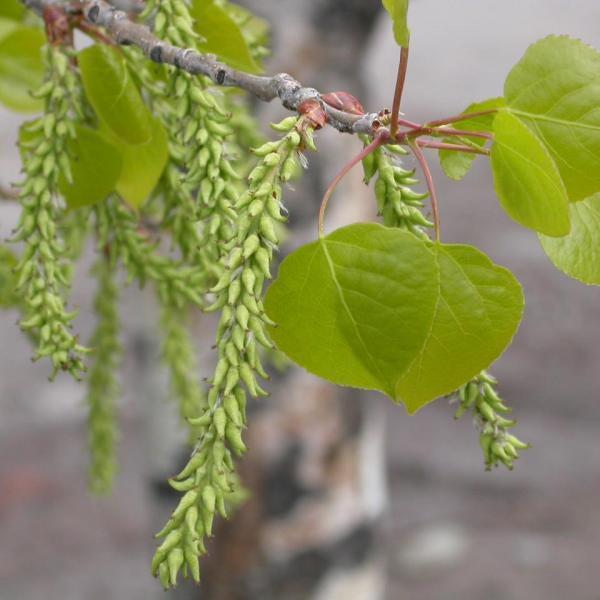 Aspen Tree Information: Learn About Aspen Trees In Landscapes