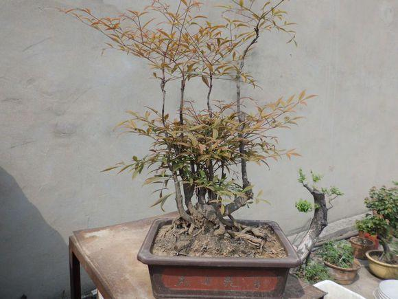 南天竹盆景图片