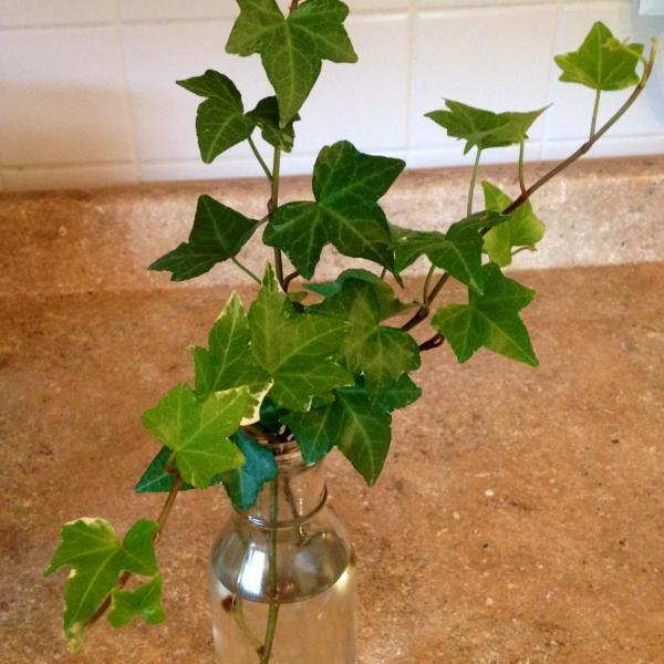 Ivy Plant Propagation: Best Way To Root An Ivy Cutting