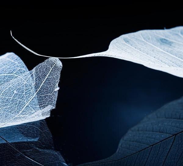 透明叶脉图片