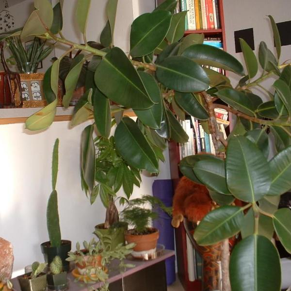 Information On What Causes Rubber Tree Plant Leaves Falling Off