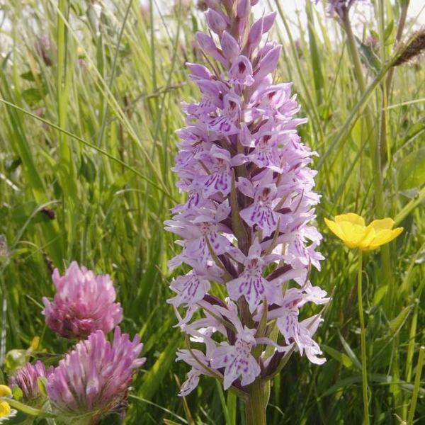 Dactylorhiza fuchsii - Common Spotted-orchid