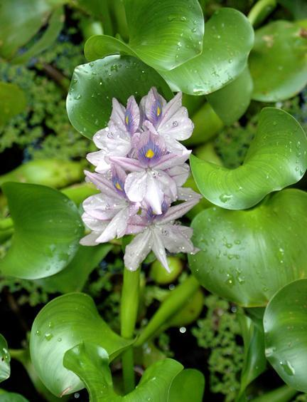 Is Water Hyacinth Invasive: Learn About Water Hyacinth Control