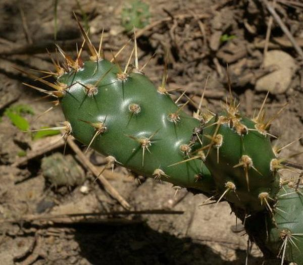 Brittle Prickly Pear