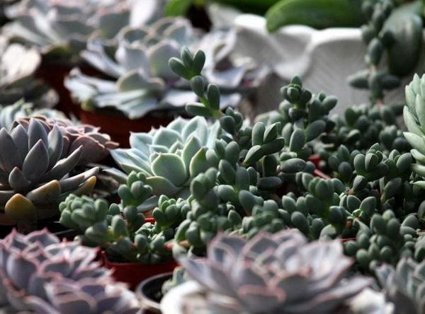 The Best Low-Maintenance Succulents to Grow Outdoors(2/2)