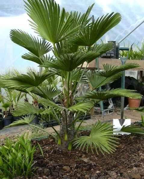 Sun-Loving Palms: What Are Some Palm Trees For Pots In Sun