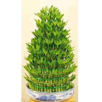 富贵竹的繁殖方法