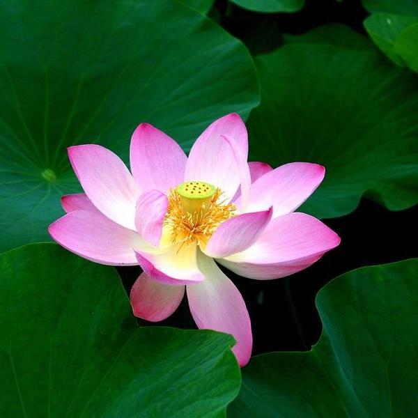 蓮(ハス)|9月26日の誕生花・花言葉・由来