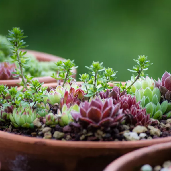 How to Choose and Grow Succulents(1/3)