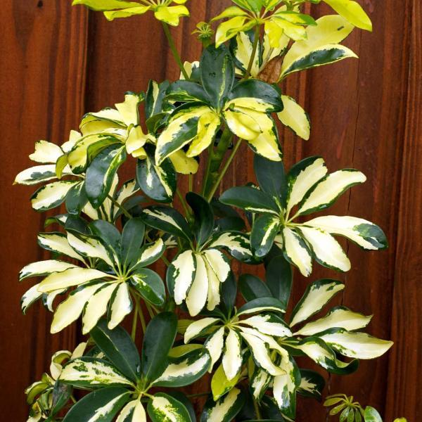 Schefflera Care – Information On The Schefflera Houseplant