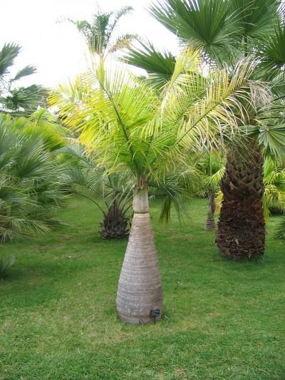 Low Growing Palm Trees: What Are Some Short Height Palm Trees