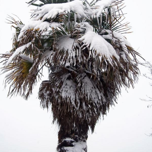 Winterizing A Palm Tree: Tips On Wrapping Palm Trees In Winter