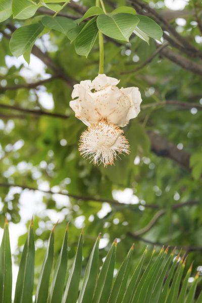 Blooming African Baobab Trees: Information About Baobab Tree Flowers