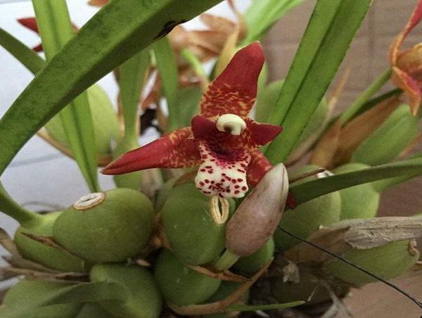 分享一些腋唇兰的养护小技巧