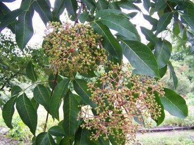 Bee Bee Tree Plant Info: Tips On Growing Bee Bee Trees
