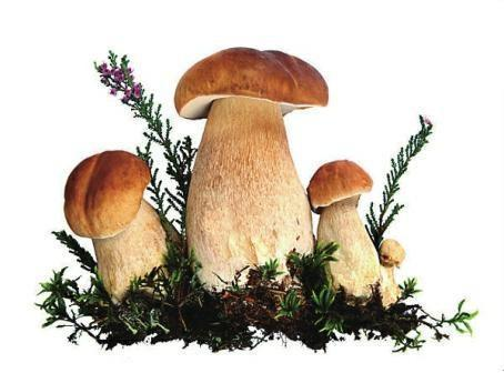 How to Collect Oyster Mushroom Spores