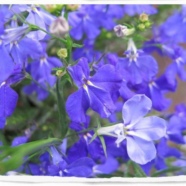 翠蝶花(六倍利)图片