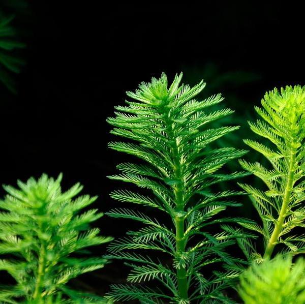 乌苏里狐尾藻图片