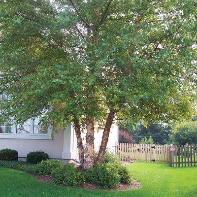 Planting A River Birch Tree: Tips On River Birch Tree Growing