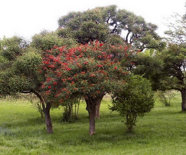 Árboles con flores: el Ceibo