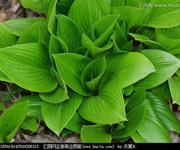 Ciprés (Cupressus sempervirens)