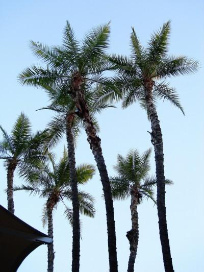 Transplanting Palm Pups – Propagate Palm Trees With Pups