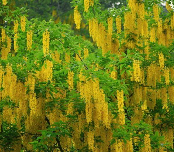 How to Grow and Care for Laburnum