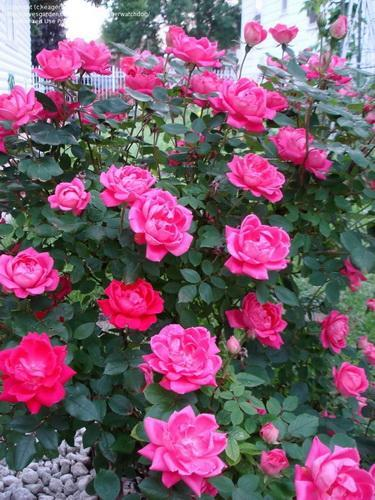How To Revive Knockout Roses Miss Chen Garden Manage Gfinger Is The Best Garden Manage App