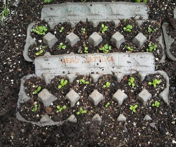 Cultivo de hojas verdes en cartones de huevo
