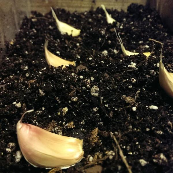 How To Grow Garlic From Seed