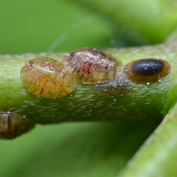What Is Armored Scale: Identifying Armored Scale Insects On Plants
