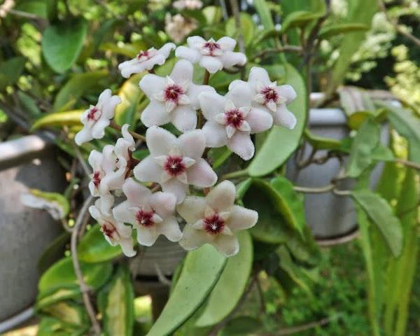 Hoya carnosa – Wax Plant