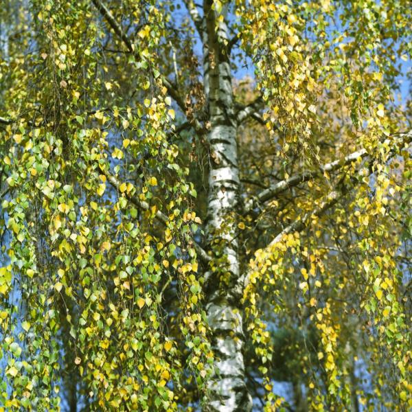 Care Of Weeping Silver Birch: How To Plant A Weeping Silver Birch