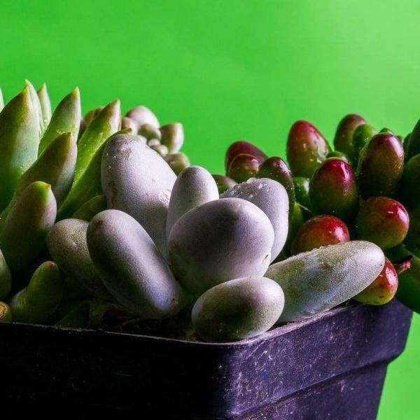 10 Unusual Succulent Plants for Your Garden(1/2)