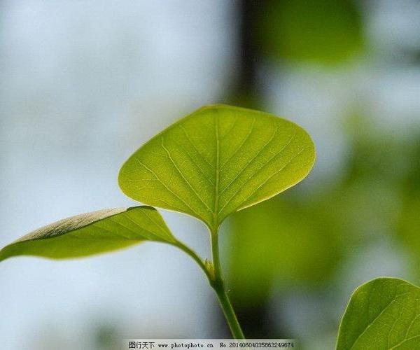 Protocormofitas (briofitos), cormofitas.