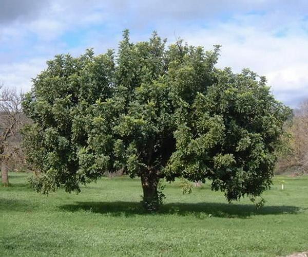Árboles: el algarrobo europeo
