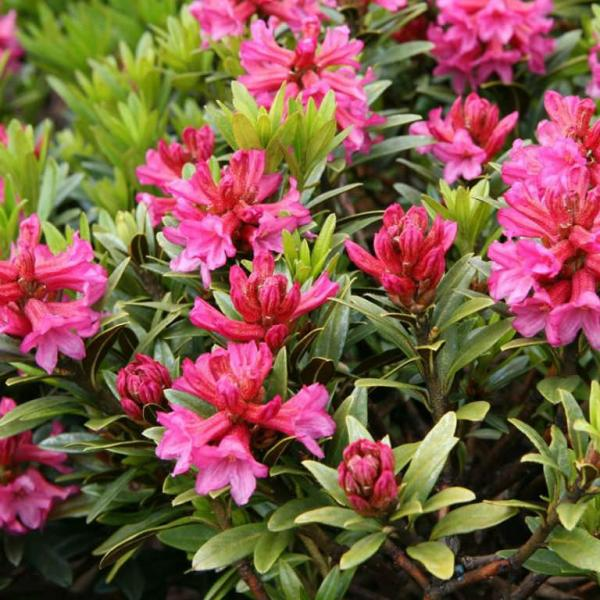 Rhododendron ferrugineum – Alpenrose