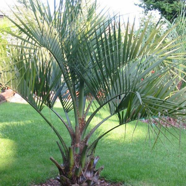 Pindo Palm Care: Tips For Growing Pindo Palm Trees
