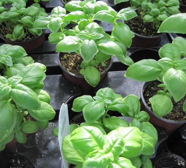 Basil Watering Tips: Proper Watering For Basil Plants