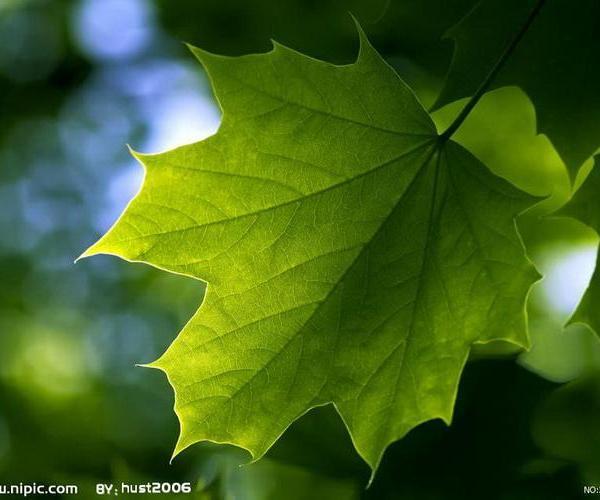 Clorofíceas o algas verdes: volvocales.