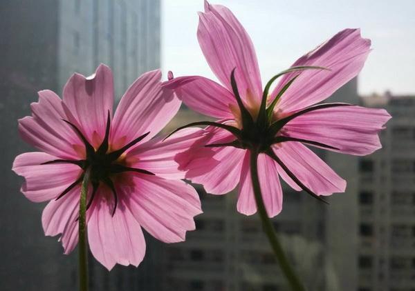 家庭栽种波斯菊的方法与注意事项